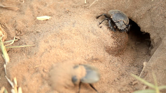 dung beetle - beetle stock videos & royalty-free footage