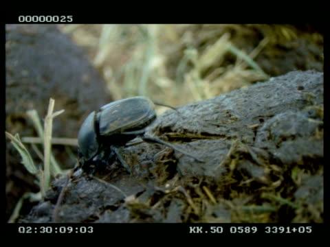 Dung beetle walking across and burrowing into Elephant dung