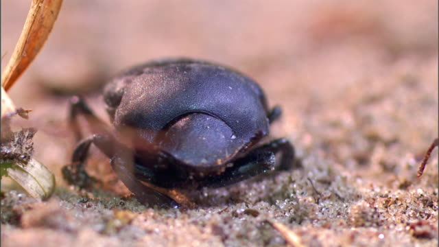 a dung beetle wiggles its antennae as it sits on sand. - animal antenna stock videos & royalty-free footage