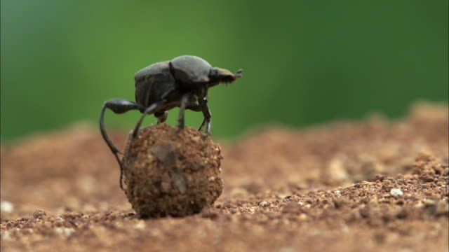 dung beetle with dung ball (sisyphus schaefferi one of the endangered species) - dung stock videos & royalty-free footage