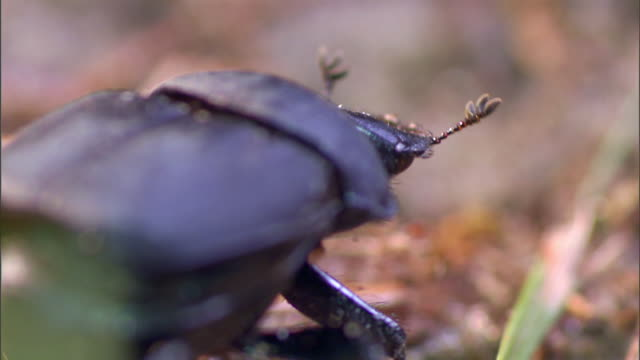 a dung beetle wobbles over sand and grass. - dung stock videos & royalty-free footage