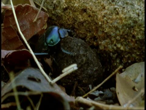 cu dung beetles burying dung ball, bandhavgarh national park, india - bandhavgarh national park stock videos and b-roll footage