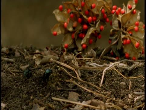 wa dung beetles on dung ball, bandhavgarh national park, india - national icon stock videos & royalty-free footage