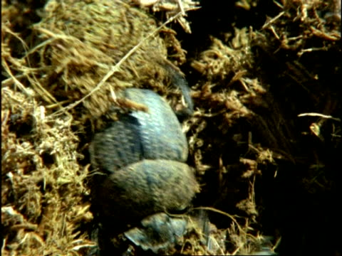 dung beetles (superfamily scarabaeoidea) rolling and fighting over dung ball, sequence, kenya - dung stock videos & royalty-free footage
