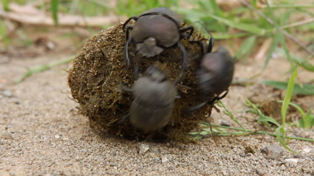 dung beetles scare off another beetle that tries to steal a ball of dung. - 攻撃的点の映像素材/bロール