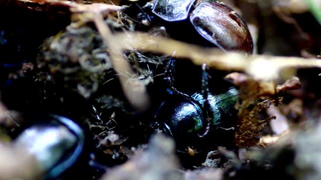 dung beetles working - copris genre - working animal stock videos & royalty-free footage
