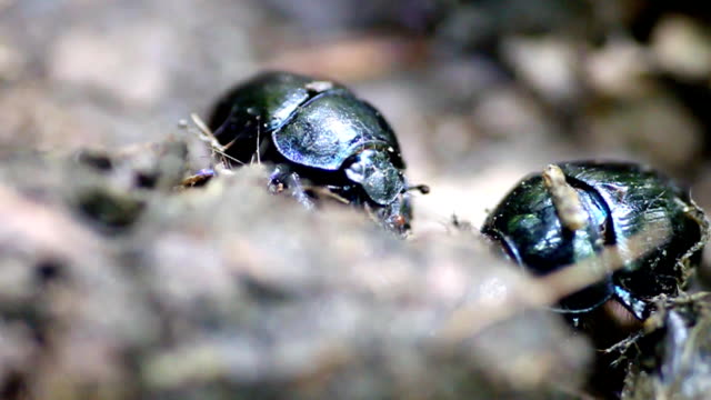 dung-beetles-working-copris-genre-video-