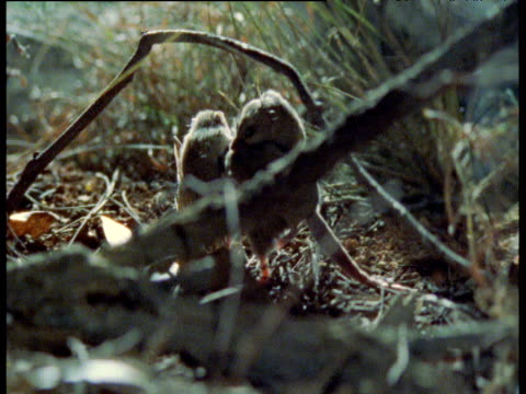 dunnart carries babies on back through undergrowth, australia - babyhood stock videos & royalty-free footage
