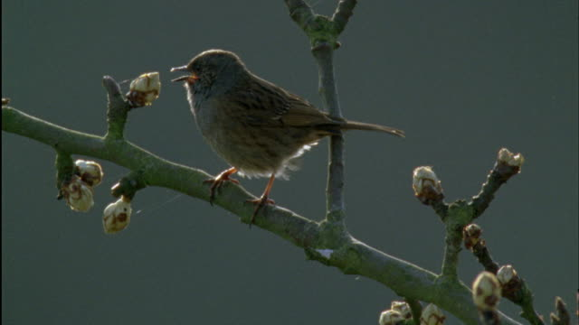 vidéos et rushes de dunnock (prunella modularis) sings during dawn chorus, forest of dean, uk - se percher