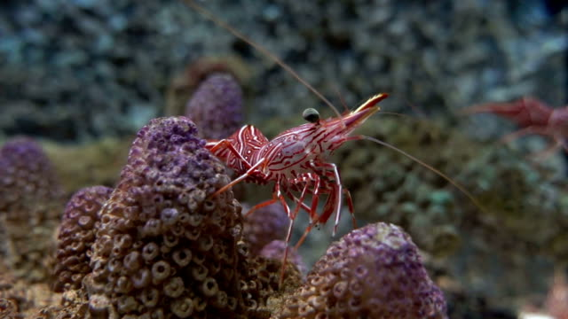 durban hinge beak shrimp rhynchocinetes durbanensis - prawn animal stock videos and b-roll footage