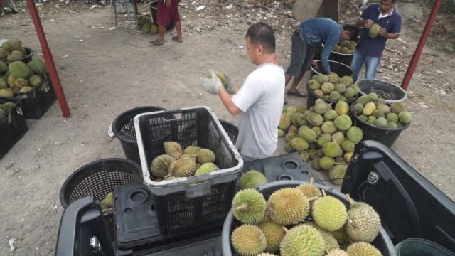 durians are counted and sorted at a road side stall in titi negeri sembilan malaysia on monday july 13th 2015 in johor malaysia shots close ups of... - johor stock videos & royalty-free footage
