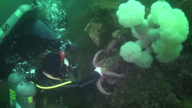 during a dive, the two divers were working their way along a rock wall when one of them noticed something moving behind a very dense kelp growth.... - living organism stock videos & royalty-free footage