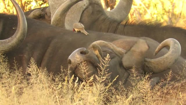 during a late afternoon safari in the kruger national park south africa these people came across a small herd of buffalo bulls lying down in the long... - mucus stock videos & royalty-free footage