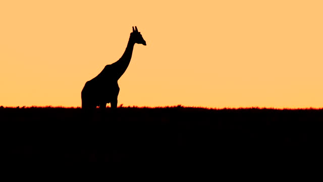 dusk after sunset with giraffe maasai mara  kenya  africa - giraffe stock videos & royalty-free footage
