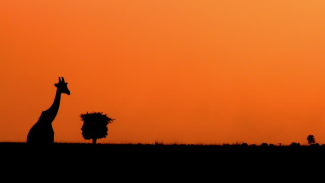 dusk after sunset with giraffe maasai mara  kenya  africa - 自然保護区点の映像素材/bロール
