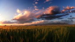 Dusk.  Bridger Mountain range, wheat field. Montana