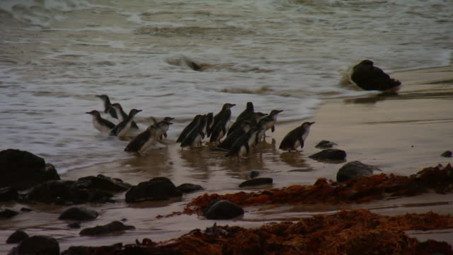 dusk small group of little penguins swim riding gentle waves into shore / penguins onto shore as waves roll onto sand / single penguin waddles off... - 小さい点の映像素材/bロール