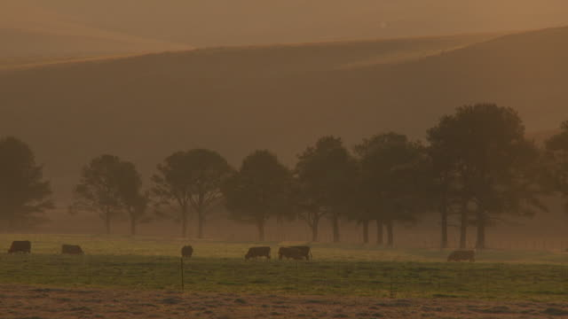 LS dusk with silhoutte of treelined field and cows grazing, KwaZulu-Natal, South Africa
