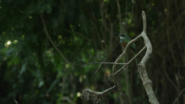 dusky backed jacamar (brachygalba salmoni) takes off from twig and flies away. - twig stock videos & royalty-free footage