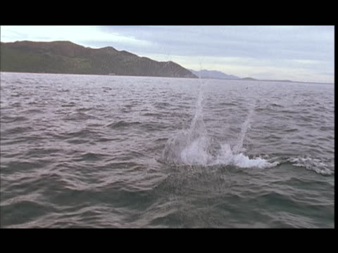 slo mo, ms, pan, dusky dolphin jumping in water, pacific ocean, new zealand - dusky dolphin stock videos & royalty-free footage