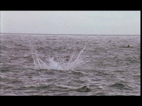 slo mo, ms, dusky dolphin jumping in water, pacific ocean, new zealand - mittelgroße tiergruppe stock-videos und b-roll-filmmaterial