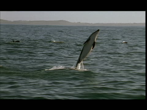slo mo, ms, dusky dolphin jumping in water, pacific ocean, new zealand - dusky dolphin stock videos & royalty-free footage