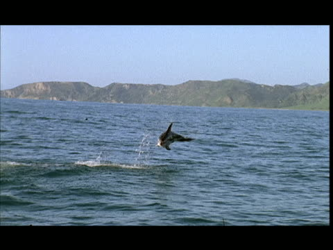 vídeos de stock e filmes b-roll de slo mo, ms, dusky dolphin jumping in water, pacific ocean, new zealand - barbatana dorsal