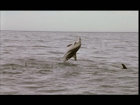 slo mo, ms, dusky dolphin jumping in water, pacific ocean, new zealand - cetacea stock videos & royalty-free footage