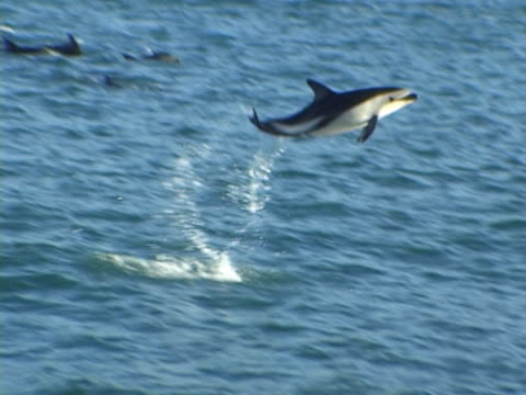 dusky dolphin ms leaping clearly out of water. kaikoura, new zealand - dolphin stock videos & royalty-free footage