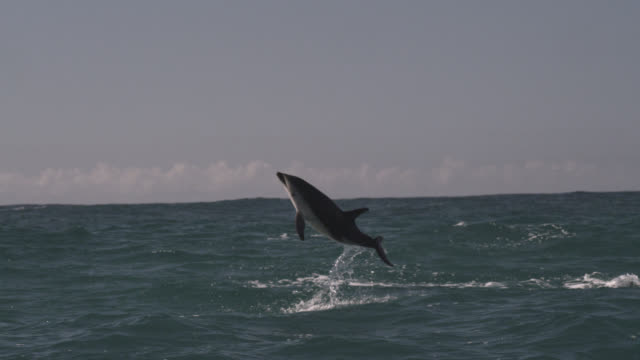 stockvideo's en b-roll-footage met slomo dusky dolphin leaps and spins, new zealand - dusky dolphin