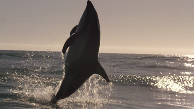 slomo dusky dolphin leaps and spins, new zealand - delfin stock-videos und b-roll-filmmaterial