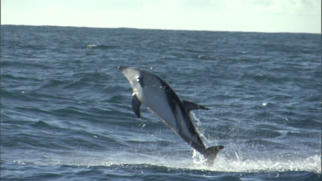 Dusky dolphin (Lagenorynchus obscurus) leaps and splashes, New Zealand