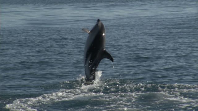 dusky dolphin (lagenorynchus obscurus) leaps and splashes, new zealand - dusky dolphin stock videos & royalty-free footage