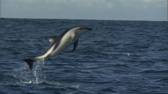 dusky dolphin (lagenorynchus obscurus) leaps and splashes, new zealand - イルカ点の映像素材/bロール