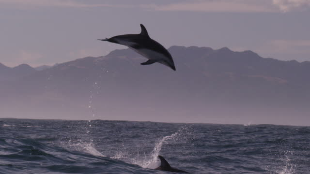 slomo dusky dolphin leaps high into air, new zealand - dusky dolphin stock videos & royalty-free footage