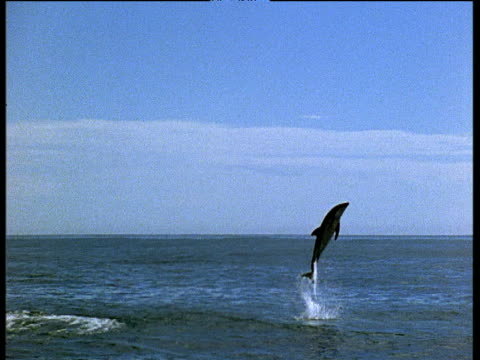 dusky dolphin leaps out of water - schwarzdelfin stock-videos und b-roll-filmmaterial