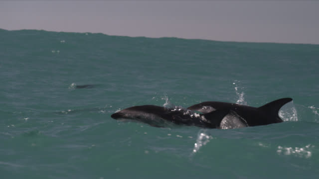 slomo dusky dolphin leaps with a splash, new zealand - dusky dolphin stock videos & royalty-free footage