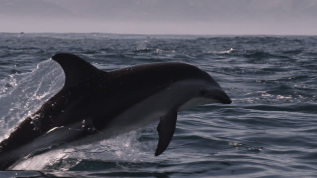stockvideo's en b-roll-footage met slomo dusky dolphin leaps with a splash, new zealand - cetacea