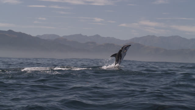 vidéos et rushes de slomo dusky dolphin leaps with a splash, new zealand - groupe de mammifères marins
