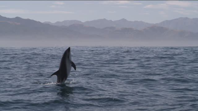 slomo dusky dolphin leaps with a splash, new zealand - animals breaching stock videos & royalty-free footage