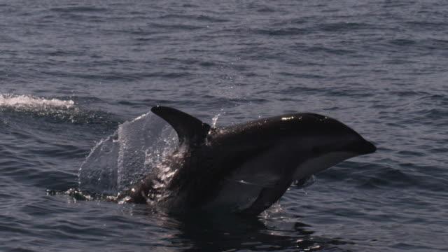 slomo dusky dolphin leaps with a splash, new zealand - cetacea stock videos & royalty-free footage