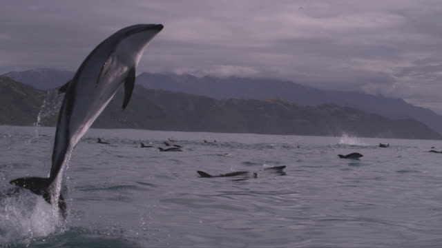 slomo dusky dolphin leaps with a splash, new zealand - dolphin stock videos & royalty-free footage