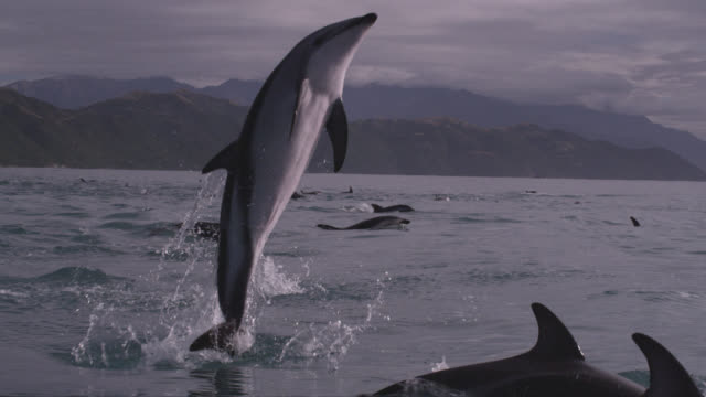 vídeos de stock, filmes e b-roll de slomo dusky dolphin leaps with a splash, new zealand - agilidade