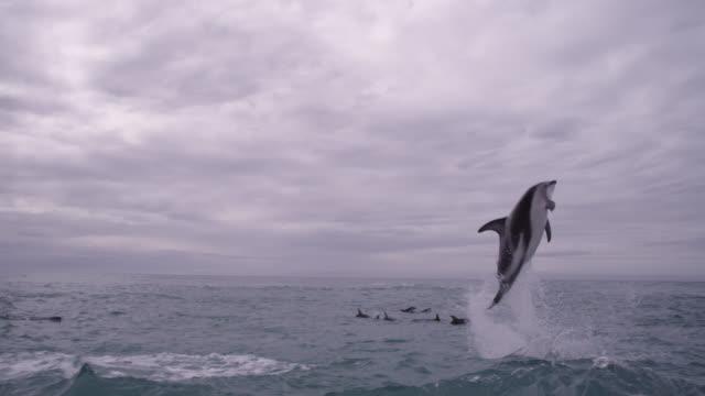 slomo dusky dolphin leaps with a splash, new zealand - schwarzdelfin stock-videos und b-roll-filmmaterial