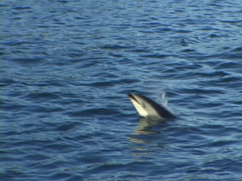 Dusky dolphin, MCU spinning clear of the water . Kaikoura, New Zealand