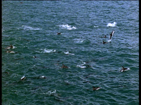 dusky dolphin pod leap out of water - cetacea stock videos & royalty-free footage