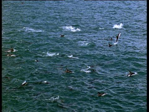 vídeos y material grabado en eventos de stock de dusky dolphin pod leap out of water - cetáceo