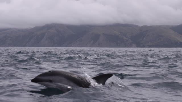 slomo dusky dolphin pod porpoising, new zealand - dusky dolphin stock videos & royalty-free footage