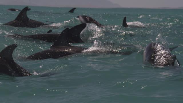 slomo dusky dolphin pod porpoising, new zealand - schwarzdelfin stock-videos und b-roll-filmmaterial