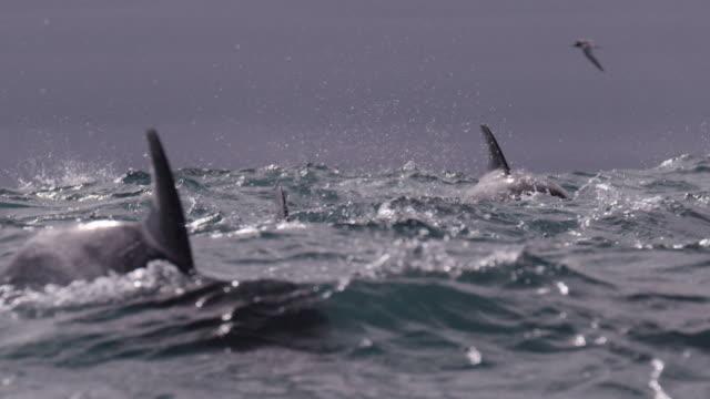 slomo dusky dolphin pod porpoising, new zealand - branco di mammiferi marini video stock e b–roll